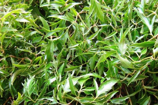Chọn lá đinh lăng của cây trên 4 năm để có tác dụng tốt nhất