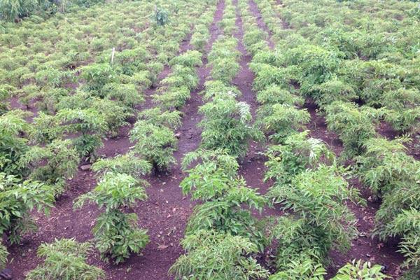 Mô hình trồng cây đinh lăng thu nhập hàng trăm triệu mỗi năm của anh Hào