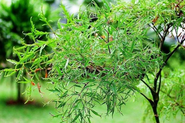 Những tác dụng của cây đinh lăng đối với sức khỏe khiến ai cũng bất ngờ