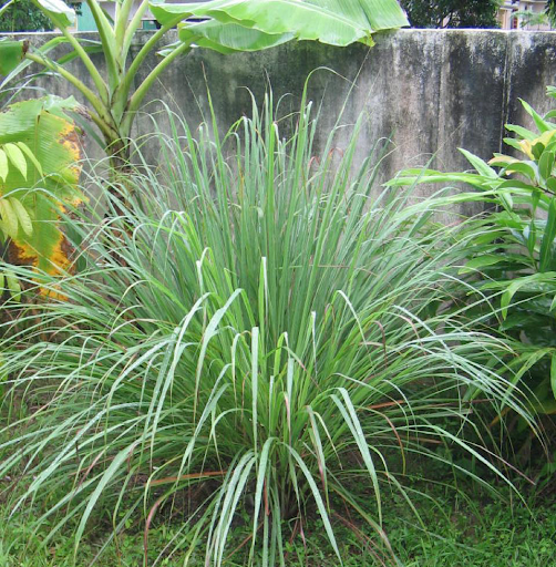Hướng dẫn kỹ thuật trồng cây sả